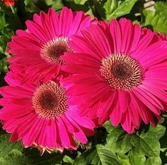 The large, vivid blooms and lush green leaves of Gerbera Daisies (Gerbera jamesonii) make them a very popular perennial that, with a little care, can be encouraged to bloom all year. Also known as African Daisies, these plants grow about a foot tall and are a popular choice for cut blossoms.