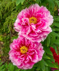 These beautiful peonies are in bloom in our Outdoor Garden, and they smell as lovely as they look! Photo © Paul g. Wiegman