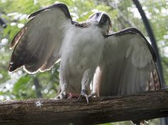 Girlie, a Philippine eagle estimated to be 32 years old, is seen at a facility of the Protected Areas and Wildlife Bureau, Department of Environment and Natural Resources, in Quezon, Philippines. Recovered from illegal capture in 1982, Girlie has a blind right eye.