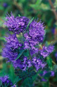 Caryopteris x clandonensis 'Heavenly Blue' lovely blue flowering plant.  Flowers late summer early Autumn