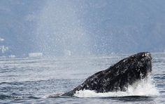 Humpback Whale, Whale Watching Photo Safari by Vallarta Adventures  |   Puerto Vallarta, Mexico