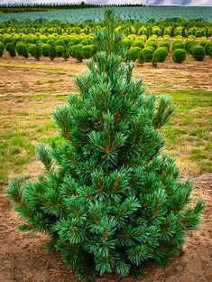 Vanderwolfs Pyramid Limber Pine grows 20-30' hardy to -30, resistant to pests and drought resistant after established.