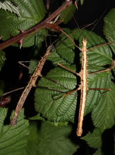 Stick insects disguised as a twigs'