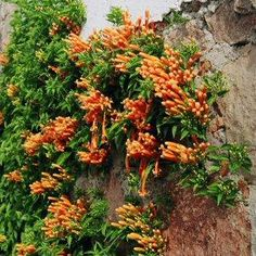 Pyrostegia venusta --Flame Vine-- grow on Chicken coop!  near the hose for water.
