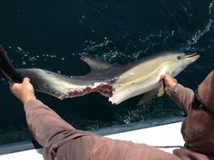 Great white likely killed dolphins 40 miles off Virginia Beach