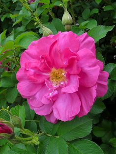 Wild Edric | Rugosa rose...simply the easiest/hardiest most disease and pest resistant rose.  Grow in full sun.  Can tolerate salt spray/often grown wild near beaches in New England.  Rose hips are small red berry like fruits that are edible!