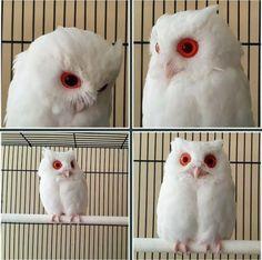 アルビノは少数ながら一定の確率で発生する突然変異の遺伝子疾患で、メラニン色素が合成できないことから、体毛や皮膚は白く、瞳孔は毛細血管の透過により赤色となる。  フクロウは目が大きいので大きな宝石のようだ。