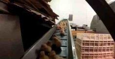 ΦΡΙΚΤΟ ΒΙΝΤΕΟ: Χιλιάδες κοτοπουλάκια εξοντώνονται σε γαλλικό εκκολαπτήριο