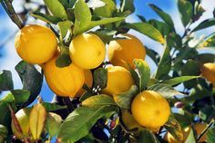 albero limoni - Cerca con Google