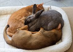 Melba bunny & her cats, Kara & Rudy: A red and ruby Abyssinian with a rabbit.
