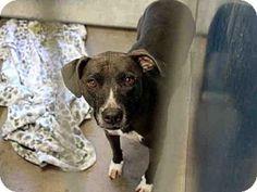 Mesa, AZ - Labrador Retriever/American Pit Bull Terrier Mix. Meet BELLE, a dog for adoption. http://www.adoptapet.com/pet/17343917-mesa-arizona-labrador-retriever-mix