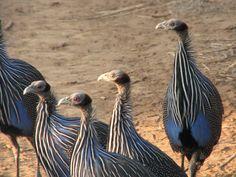 Guinea Hens - Samburu, Kenya