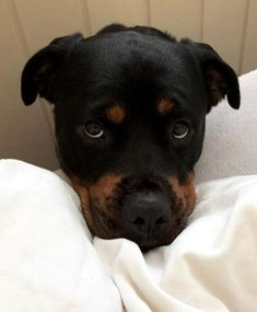 """Receive terrific ideas on """"rottweiler puppies""""xx. They are actually accessible for you on our website. Rottweiler Funny, Rottweiler Puppies, Beagle, Little Dogs, Big Dogs, Cute Puppies, Cute Dogs, Bulldog Breeds, Popular Dog Breeds"""