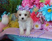 www.cavachonsbydesign.com Cavachon puppies for sale, Cavachon, Cavachons, Cavachon dog, Cavachon pups, Cavachon pup, Cavachons dogs for sale, Cavachon puppies, Cavachons for sale, Cavachon breeder, Cavachon breeders, Bichon Cavachon Puppies, Dogs For Sale, Puppy Love, Cute, Animals, Design, Animales, Animaux, Kawaii