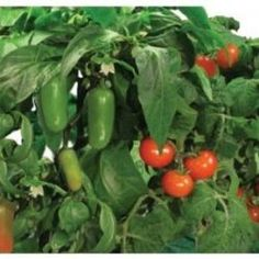 It's possible to grow great vegetables and herbs indoors just like these all year round by using modern hydroponic gardening systems that take...
