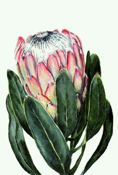 Items similar to Watercolor Protea flower painting print South African indigenous fynbos on Etsy Protea Art, Flor Protea, Protea Flower, Art And Illustration, Watercolor Illustration, Art Floral, Watercolor Flowers, Watercolor Art, Painting Flowers