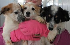 An armful of puppies! All adopted. The iPups: Ian, Iole, and Iva! / I cuccioli iPup: Ian, Iole e Iva. Hanno tutti trovato casa!