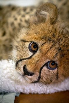 big eyed cheetah youngster