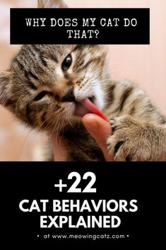 Weird Cat Behaviors and Quirks Explained – cat behavior weird cat behaviors and why they do them. Many are methods of cat communication, from winking to bunting, rolling, sneering, and kneading. Cat Behavior Problems, Cat Behaviour, First Time Cat Owner, Cat Info, Cat Whisperer, Kitten Care, Cat Facts, Facts About Cats, Cat Supplies