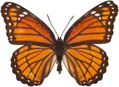 Other insects have learned to use the bitter taste of Monarchs to their advantage.  This Viceroy Butterfly, for example, is doing a great job of mimicking the wing pattern of the unpleasant tasting Monarch Butterfly.  Predators who have learned to ignore the Monarch in turn ignore the Viceroy!