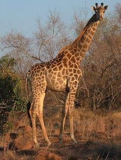 This photo from Limpopo, East is titled 'Giraffe My Land, Animals Images, My People, Places Ive Been, South Africa, Giraffe, Wildlife, World, News