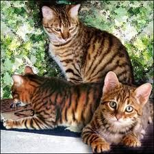 Toygers: breed that was developed and through purchases of kittens wild tigers benefit.