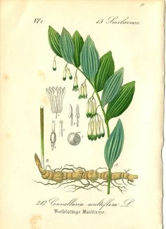 Solomon's Seal (Polygonatum) botanical illustration