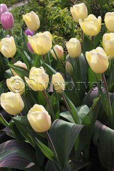 Tulipan Vanilla Cream (10 løg) Greigii - Botanisk tulipan
