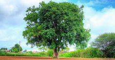 Der Niem- oder auch Neembaum ist als Wunderbaum bekannt. Er bietet natürliche Zahnbürsten und hilft bei 40 Krankheiten! Du kannst ihn sogar daheim anbauen!
