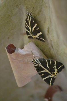 Πεταλούδες - Κριτικές για Η Κοιλάδα με τις Πεταλούδες, Ρόδος, Ελλάδα - TripAdvisor