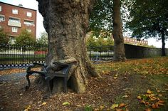 This bench-eating tree is in the grounds of the Kings Inns on Constitution Hill, North Dublin, Ireland. Source: Shellonious/Flick.