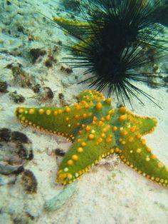 Green and orange Starfish Zanzibar Tanzania
