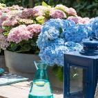 Gartenhortensie: Gastgeber-Liebling auf jeder Sommerparty