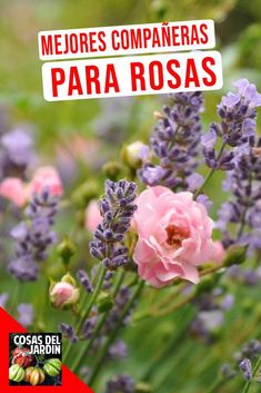 Plantar Rosales, Garden Care, Listerine, Cabo, Gardening, Blog, Gardens, Vegetable Garden, Annual Plants
