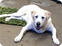 Santa Cruz, CA - Labrador Retriever. Meet CARL*, a dog for adoption. http://www.adoptapet.com/pet/12899653-santa-cruz-california-labrador-retriever