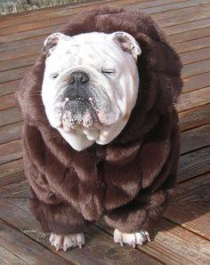 ORDER ENGLISH BULLDOG faux Mink Fur Coat Bulldog by MeatyWildman