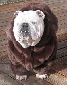 ORDER ENGLISH BULLDOG faux Mink Fur Coat Bulldog by MeatyWildman