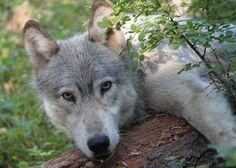 Wolves of Douglas Co on