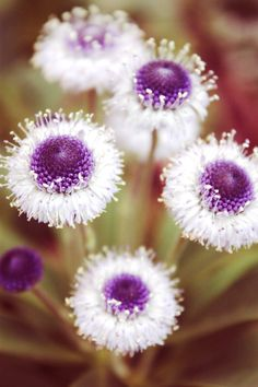 Browse my pictures of purple flowers to aid you in plant selection. Like blue blossoms, this bloom color has a soothing effect. Unusual Flowers, Unusual Plants, Amazing Flowers, My Flower, Purple Flowers, Colorful Flowers, Beautiful Flowers, White Flowers, Spring Flowers