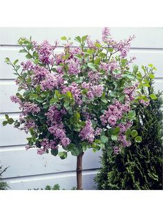 Dwarf Lilac Standard Tall Pot - One Colour - Potted Trees Patio, Tall Potted Plants, Indoor Flowering Plants, Small Trees For Garden, Small Front Gardens, Small Front Garden Ideas Uk, Dwarf Lilac Tree, Dwarf Trees For Landscaping, Yard Landscaping