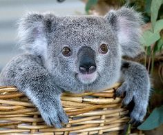 Koala Bear in a basket!
