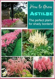 Tips for Growing Astilbe Astilbe is the perfect flowering plant for shady garden spots. It has plume like flowers that cluster over the top of delicate leaves and add so much to the surrounding shade plants. see how to grow it on Garden Shrubs, Garden Pests, Lawn And Garden, Garden Shade, Backyard Shade, Big Garden, Fenced Garden, Backyard Trees, Pool Backyard