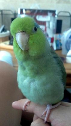 Parrotlets can be very curious! Read more about them at http://www.busybird.com/parrotletinfo1.html.~KA