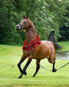 Arabhorse.com - Brixx IA - HB Arabians - Horse