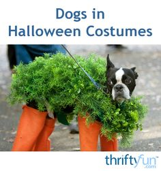 This page contains photos of dogs in Halloween costumes. On this fall holiday many adults and children enjoy dressing in costumes. Some people even dress up their pets.