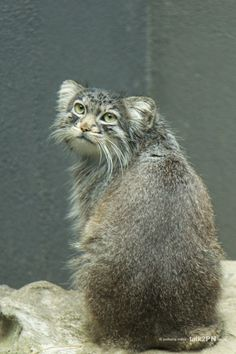 Pallas Cat Rare and endangered cats and kittens Rare Cats, Cats And Kittens, Beautiful Cats, Animals Beautiful, Wild Cat Species, Endangered Species, Felis Manul, Pallas's Cat, Small Wild Cats