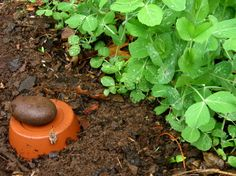 ollas_final by liz t williams, via Flickr; watering system using terra cotta unglazed pots.  Gotta try this.