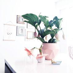 TGIF #ensuusflowers #tgif #pinkandbluebabyiloveyou #amaryllis #medinilla