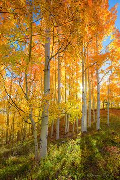 Oversized Fall Wall Art Golden Aspens Trees by SusanTaylorPhoto Tree Photography, Autumn Photography, Landscape Photography, Autumn Scenery, Autumn Trees, Aspen Trees, All Nature, Art Mural, Photo Canvas