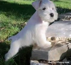 OMG what a beautiful white Miniature Schnauzer